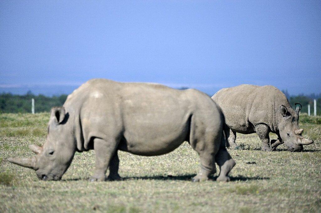 30-летняя Наджин слева и ее 19-летняя дочь Фату справа, последние представители северного белого носорога. Они живут под круглосуточной вооруженной охраной. Фото — phys.org.