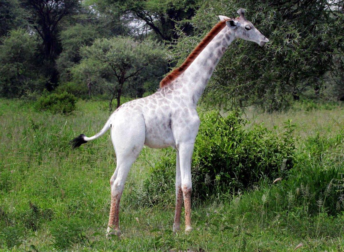 Белый жираф из Национального парка Тарангире в Танзании.