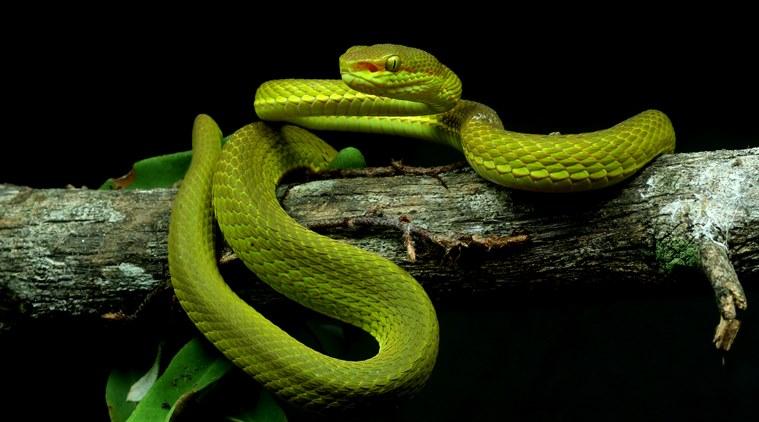 Trimeresurus salazar. Фото — Zeeshan A Mirza.