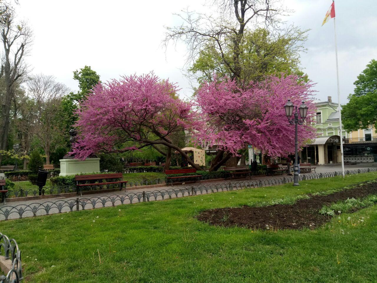 Иудино дерево в цвету до того, как оно сломалось. Фото— Ginger Q.
