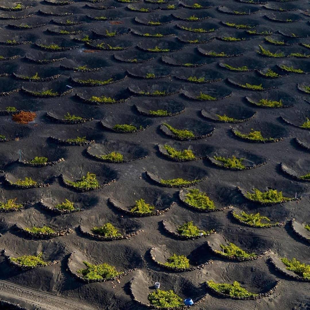 Вулканические виноградники. Как делают вино на острове Лансароте