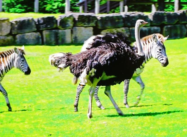 В британском сафари-парке страус считает себя зеброй. У него кризис идентичности (да, он бывает не только у людей)