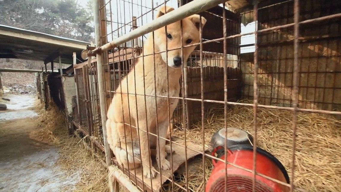 В Южной Корее под видом питомника скрывался крупнейший в стране магазин-аукцион собачьего мяса