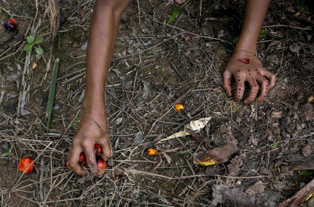 Ребенок собирает плоды пальм с земли на плантации.