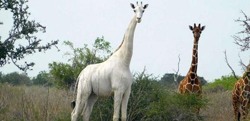 Единственного в мире белого жирафа снабдили GPS-трекером. Его семью убили браконьеры