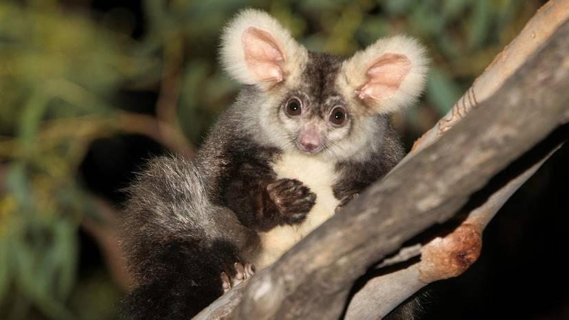 Ученые нашли в Австралии два новых вида млекопитающих