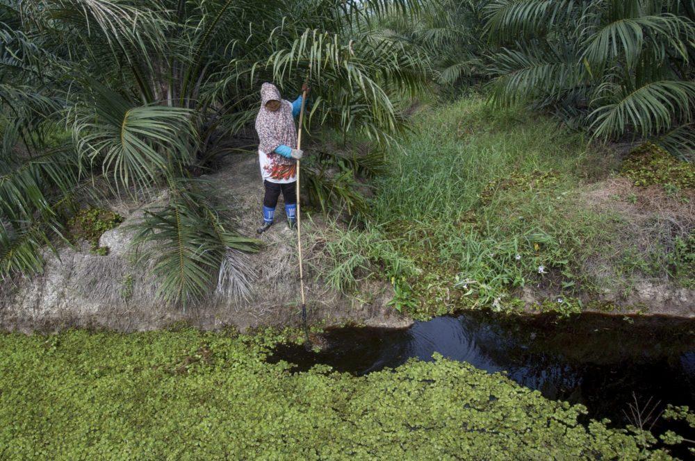Работница убирает плавающие водоросли из канала на плантации пальмового масла на Суматре, Индонезия.