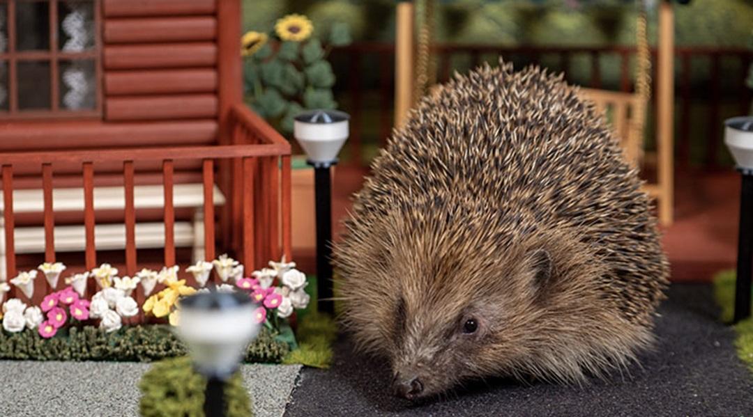 В Великобритании открыли первый в мире парк отдыха для ежей. Животные на грани вымирания