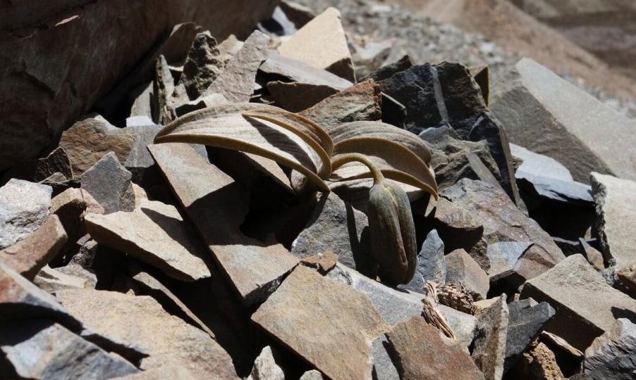 Китайский цветок мимикрировал под камни, чтобы защититься от сборщиков трав
