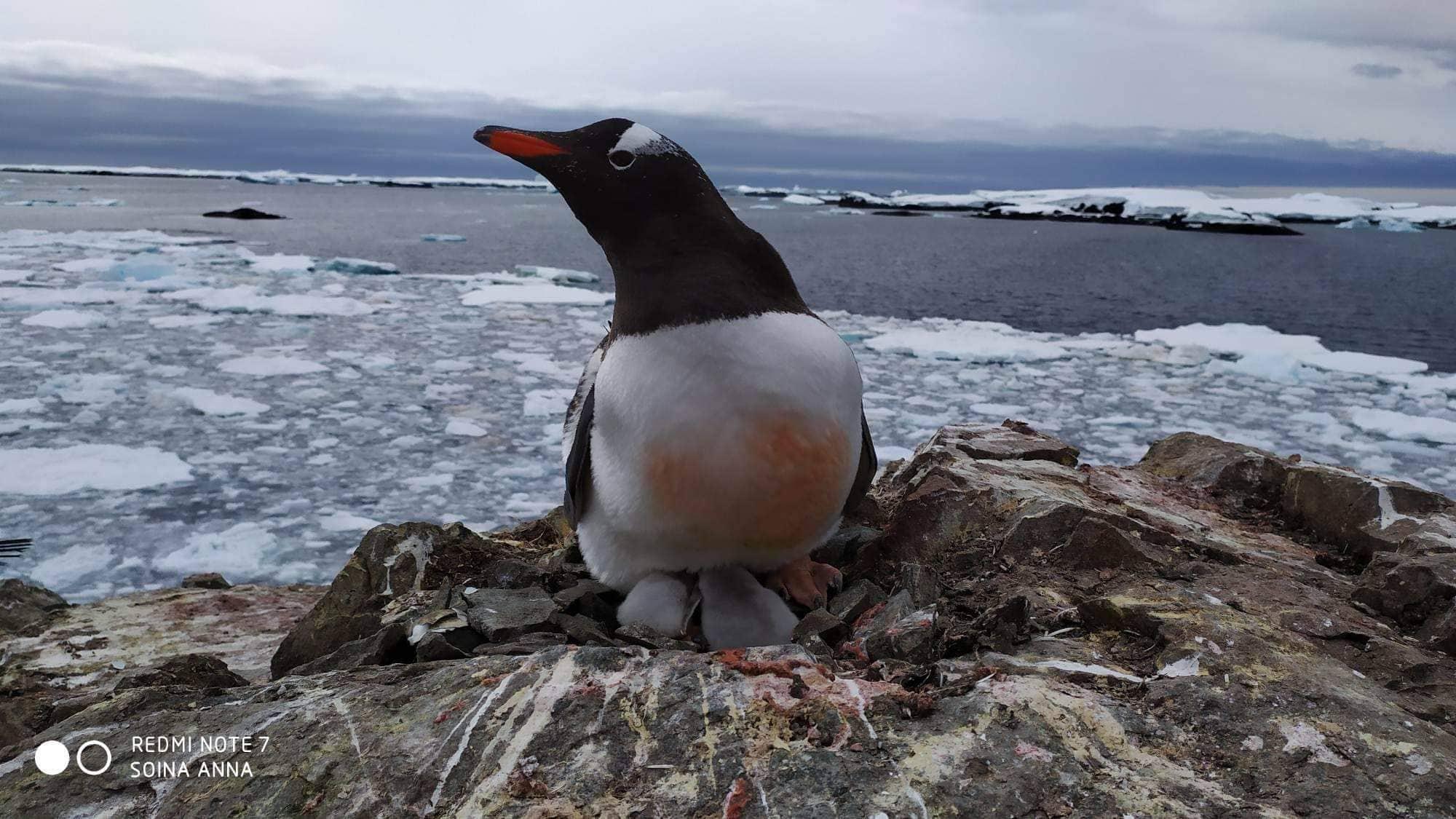 Возле украинской арктической станции вылупились первые пингвинята. Они ужасно милые