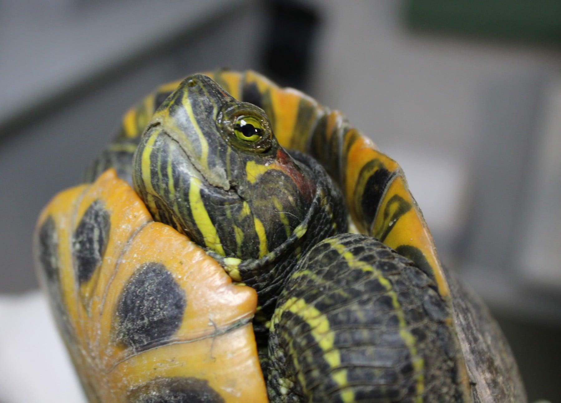 Зоозащитники в Киеве спасли 40 черепах, которые вмерзли в лед. Их выпиливали болгаркой