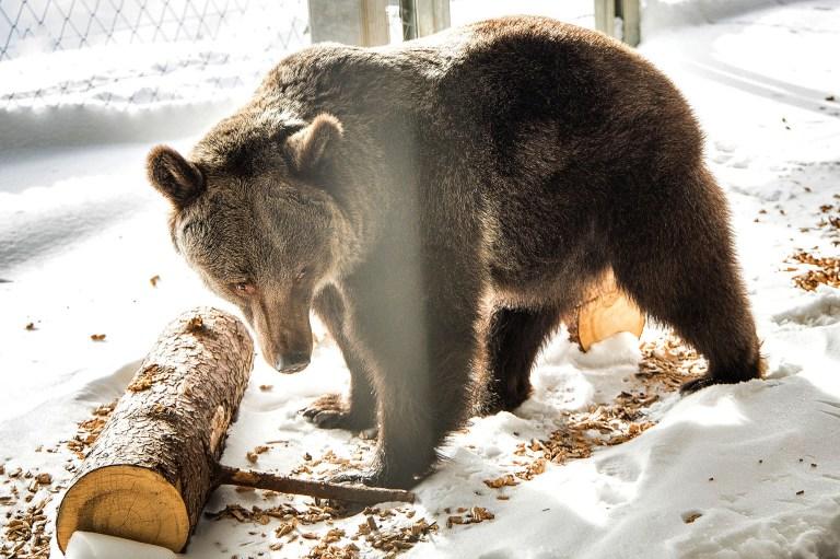 Самая одинокая медведица в мире переехала из Украины в Швейцарию. Она провела в клетке 11 лет