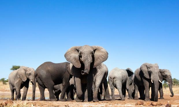 Купи слона! Намибия выставит на аукцион 170 животных из-за роста популяции