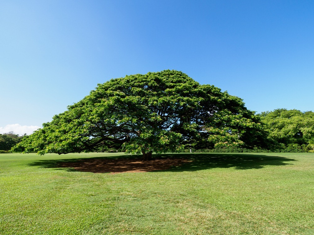 Дерево, которое зарабатывает почти полмиллиона долларов в год