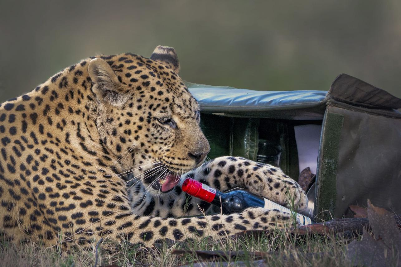Снимок дня. Леопард украл бутылку вина и попытался ее выпить