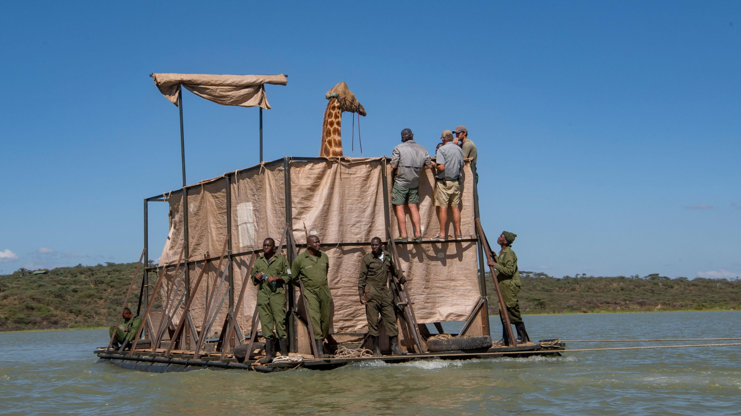 Снимок дня. Кенийцы на барже спасают жирафиху с тонущего острова