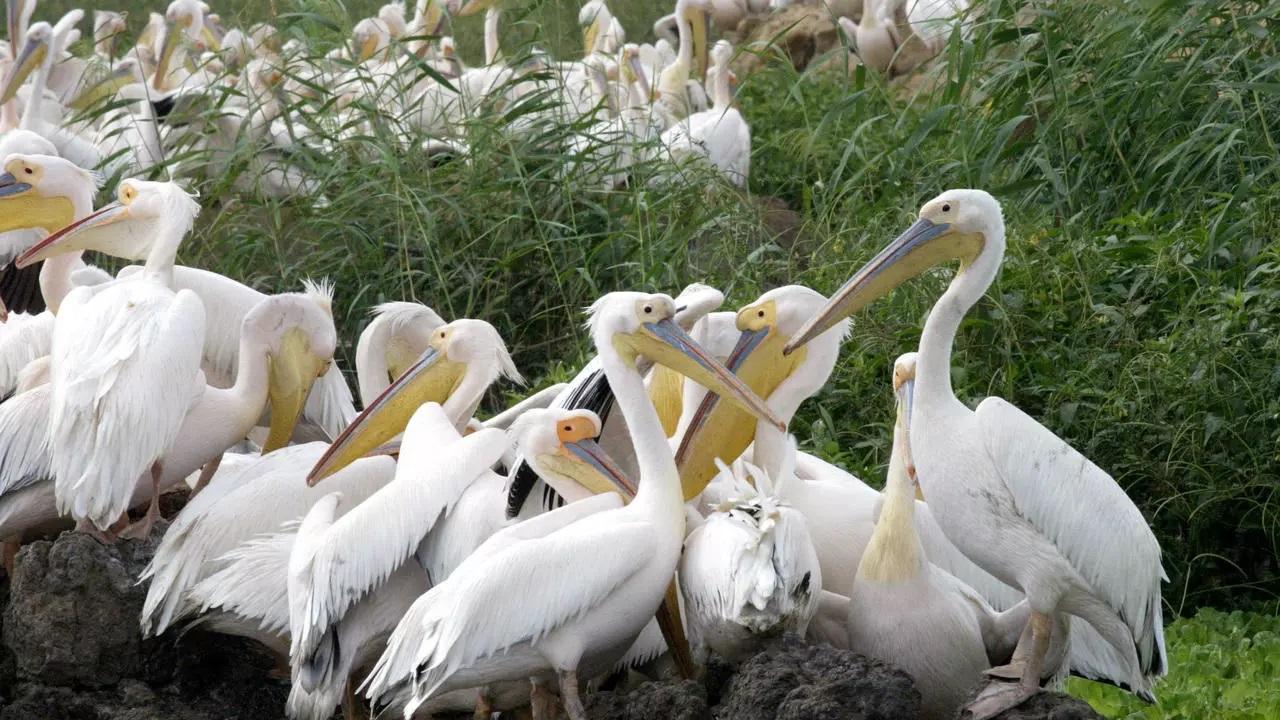 В сенегальском заповеднике ЮНЕСКО погибли 750 пеликанов. Никто не знает почему