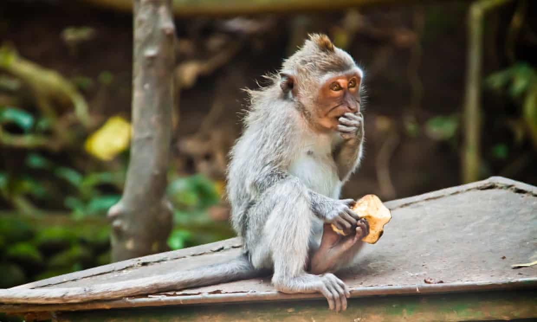 Обезьяны-воры на Бали научились распознавать наиболее ценные вещи для туристов