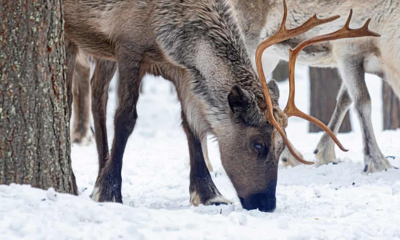 Выпас оленей, Йокмокк, Швеция. Фото иллюстративное — Shutterstock.