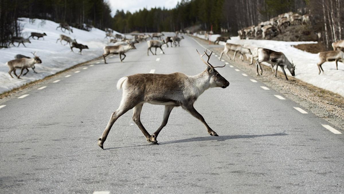 Шведы построят мосты для оленей над автобанами и железными дорогами
