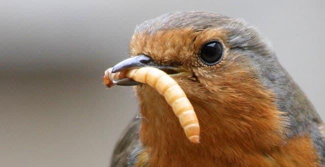 Альтернативный источник белка. Еврокомиссия одобрила употребление мучных червей в пищу