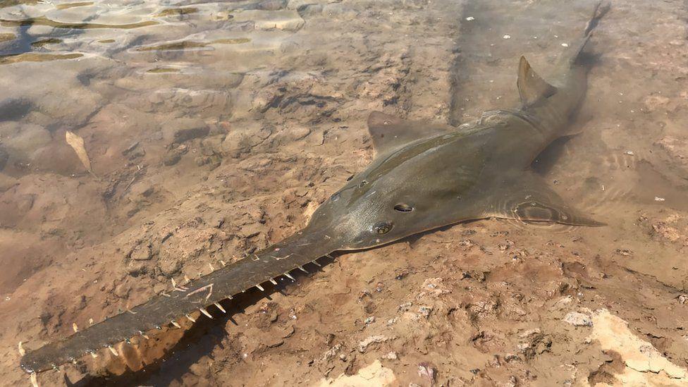 Рыба-пила находится на грани исчезновения