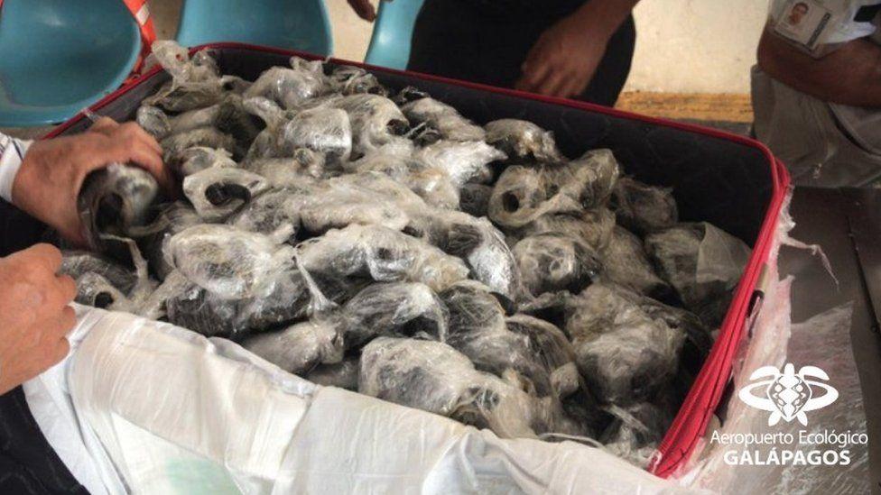 Снимок дня. 185 черепах, завернутых в полиэтилен, в чемодане контрабандиста в Эквадоре