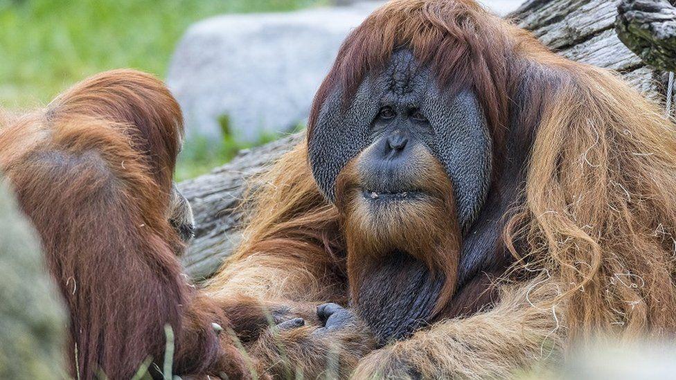 США вакцинируют обезьян в зоопарках от COVID-19
