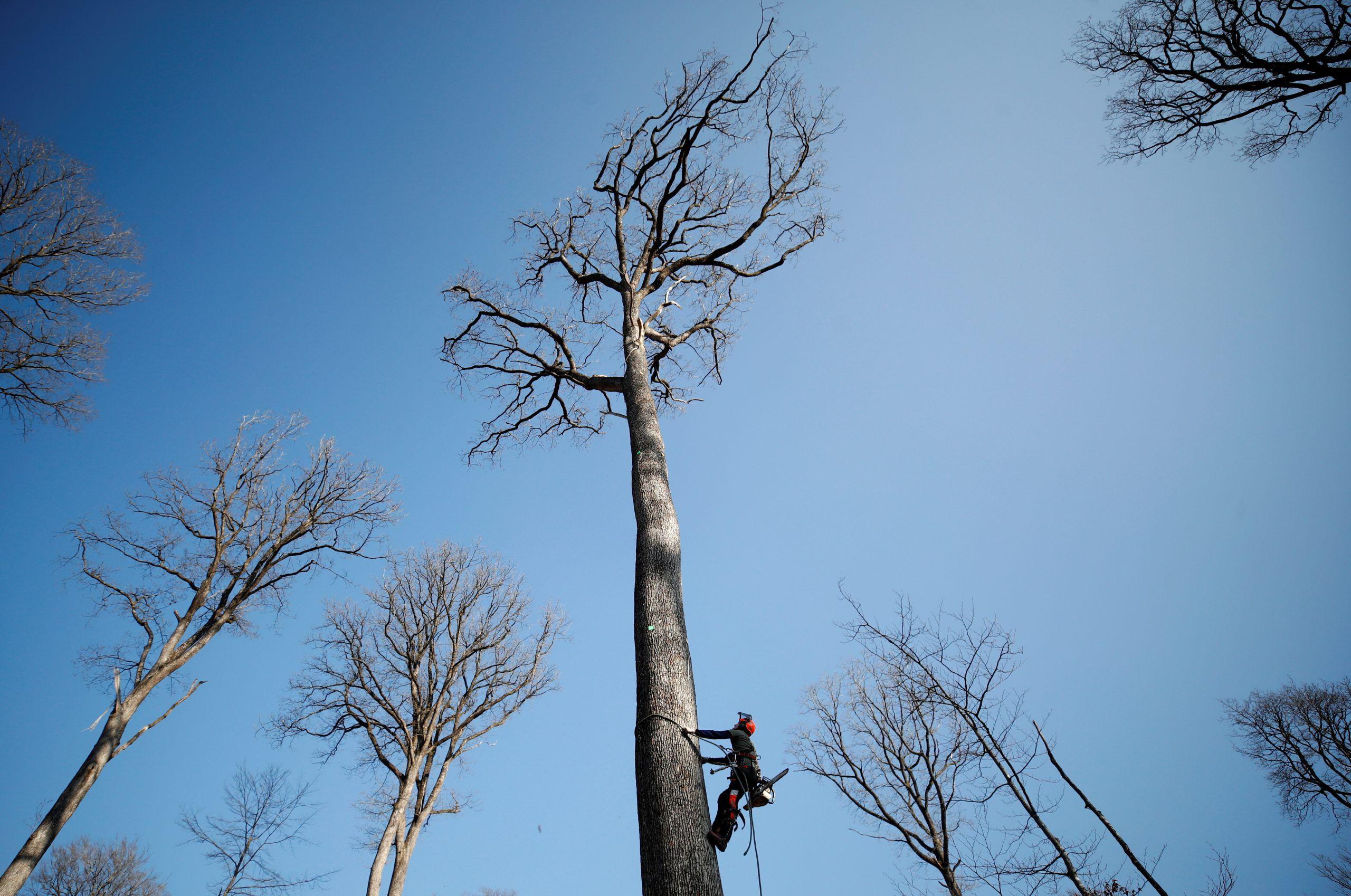 Во Франции спиливают 200-летние дубы, чтобы восстановить шпиль Нотр-Дама