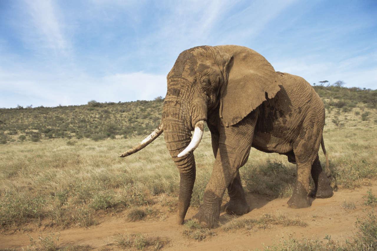 Африканский саванный слон. Фото — Wikipedia.