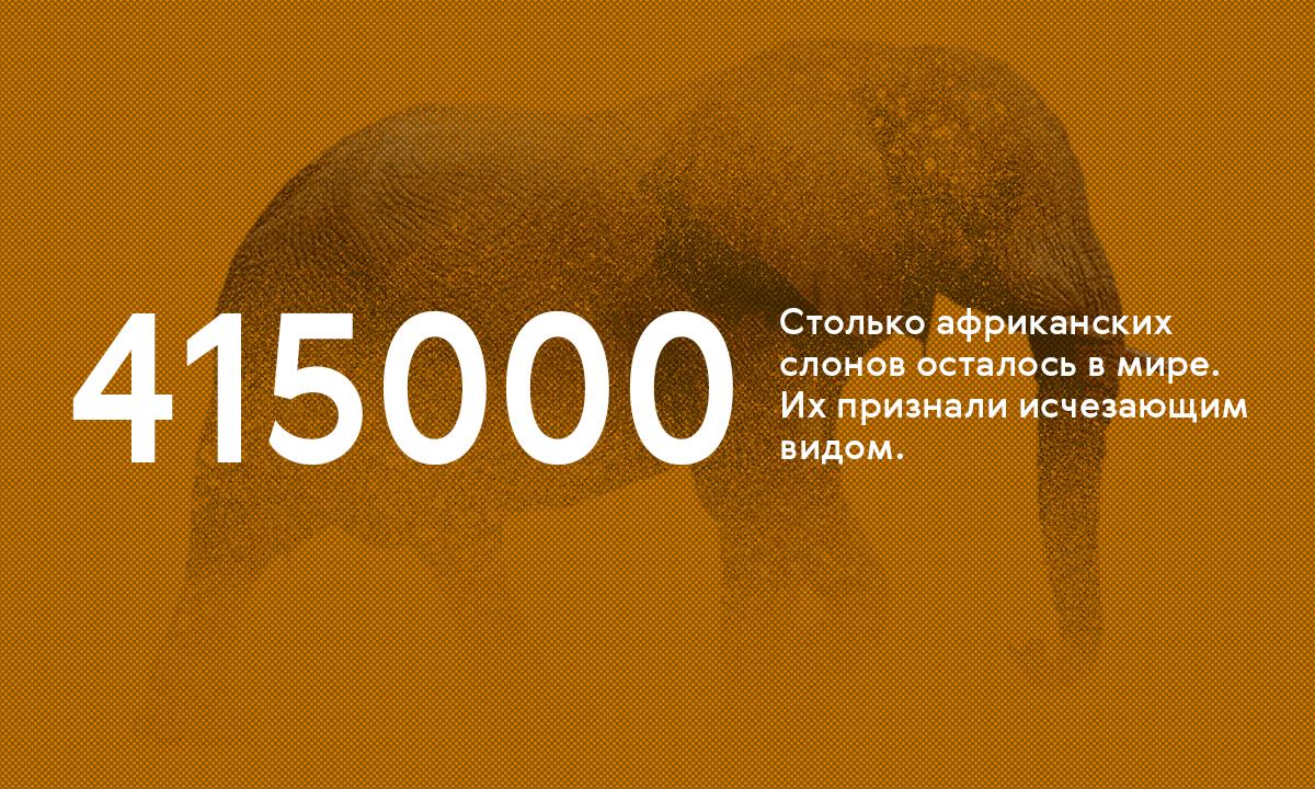 В мире осталось около 415 тысяч африканских слонов — они на грани исчезновения