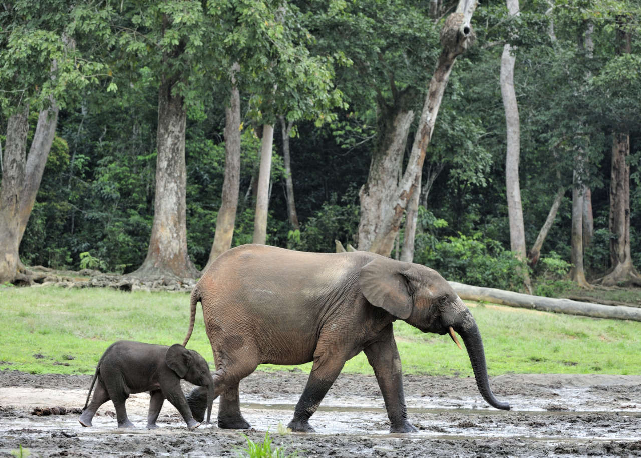 Африканский лесной слон. Фото — Wikipedia.