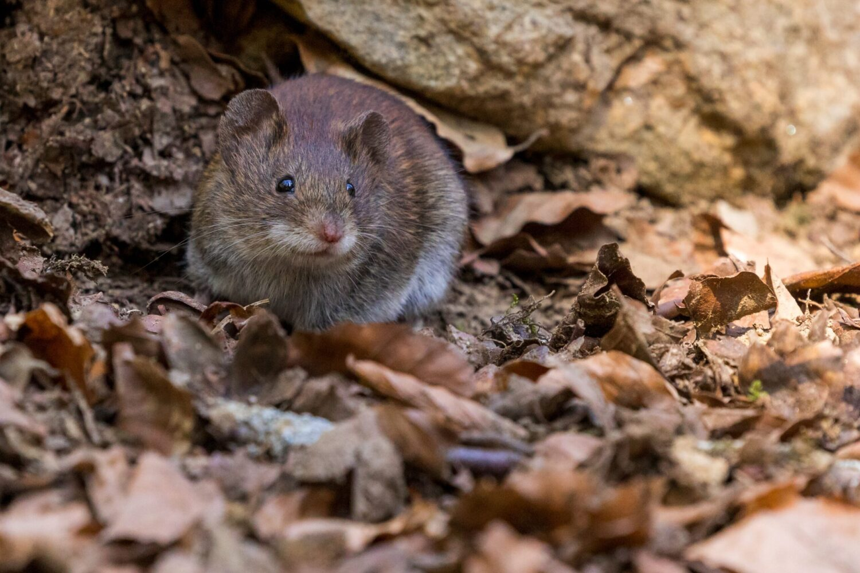 «Вокруг бегают тысячи и тысячи мышей». Австралийский штат страдает от нашествия грызунов
