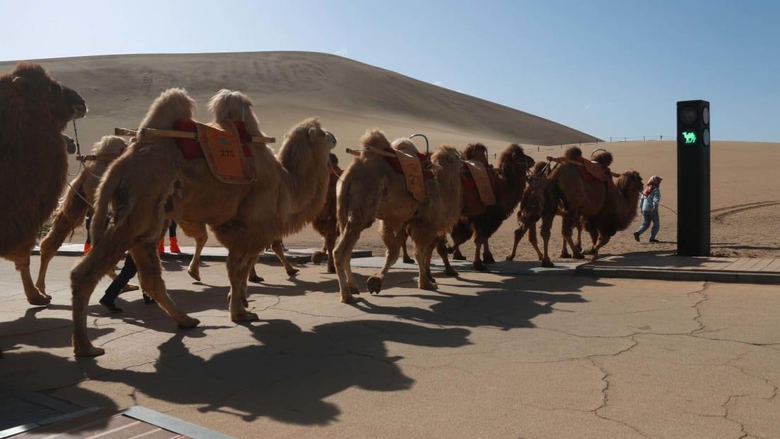 Китай установил первый в мире светофор для верблюдов