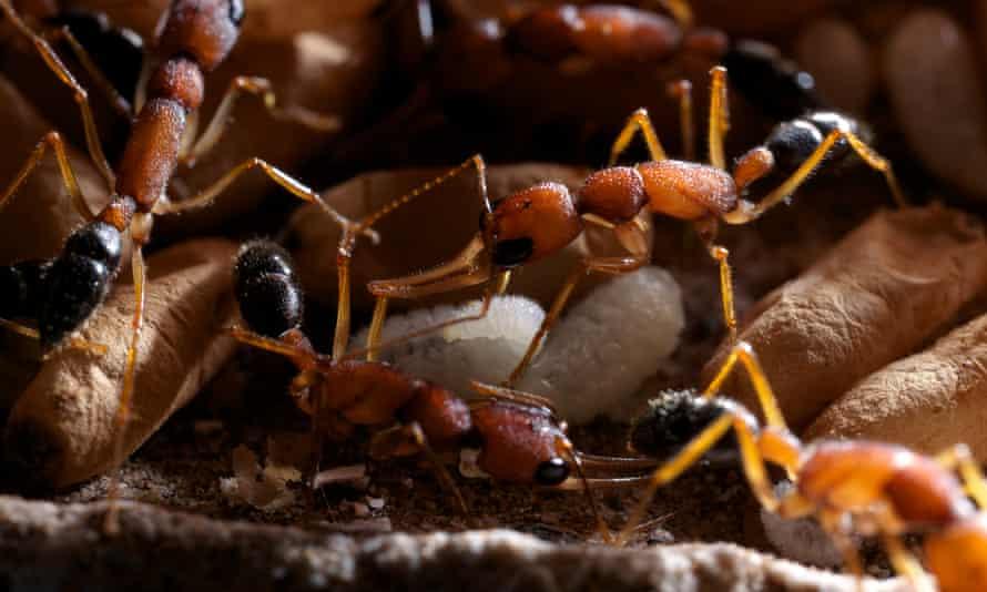 Индийский прыгающий муравей. Фото — Martin Dohrn.
