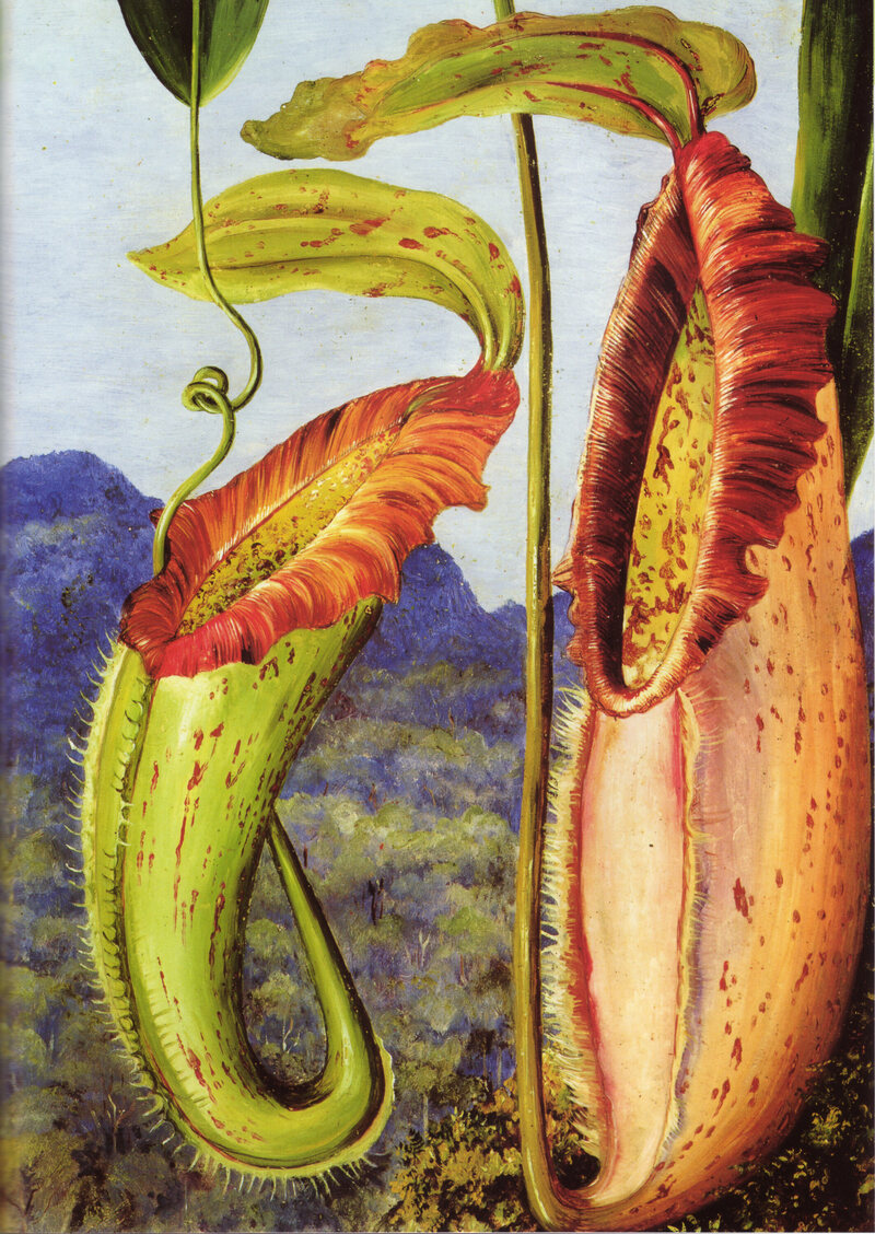 Nepenthes northiana.
