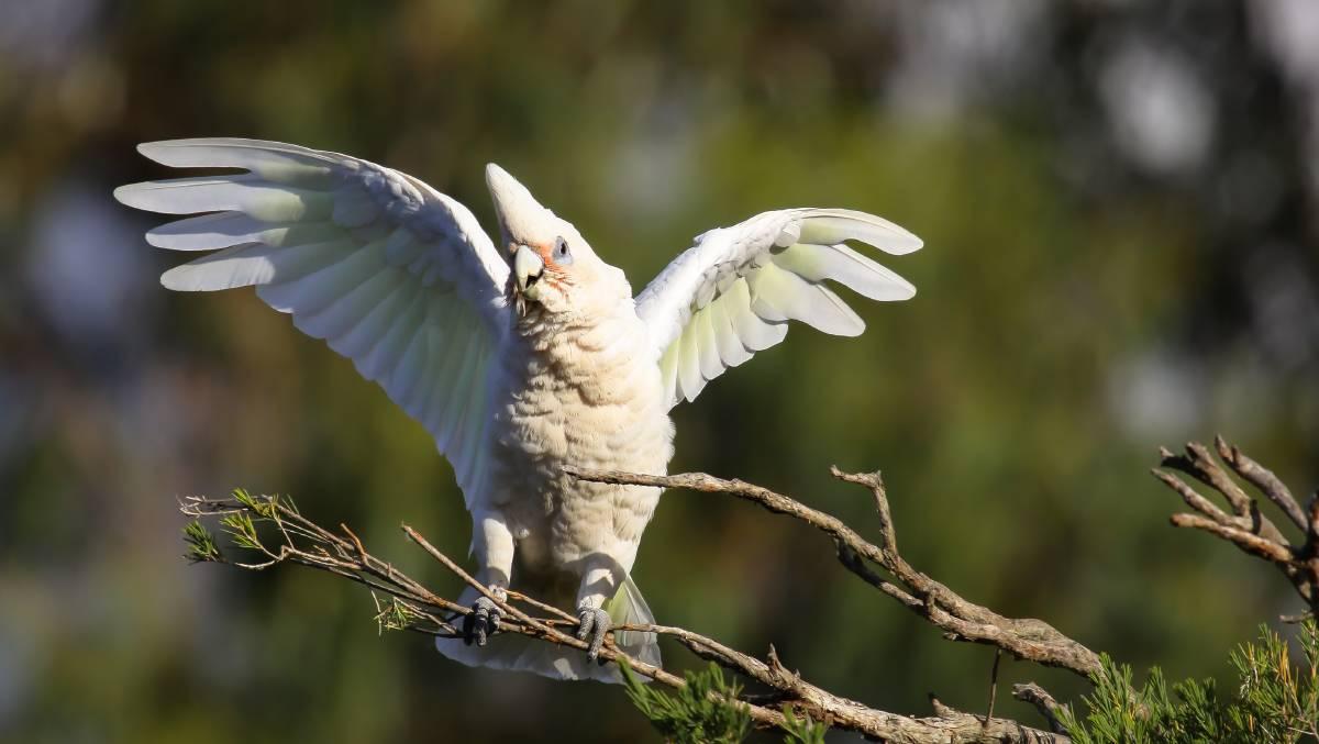 Видео дня. Массовое нашествие попугаев в Австралии