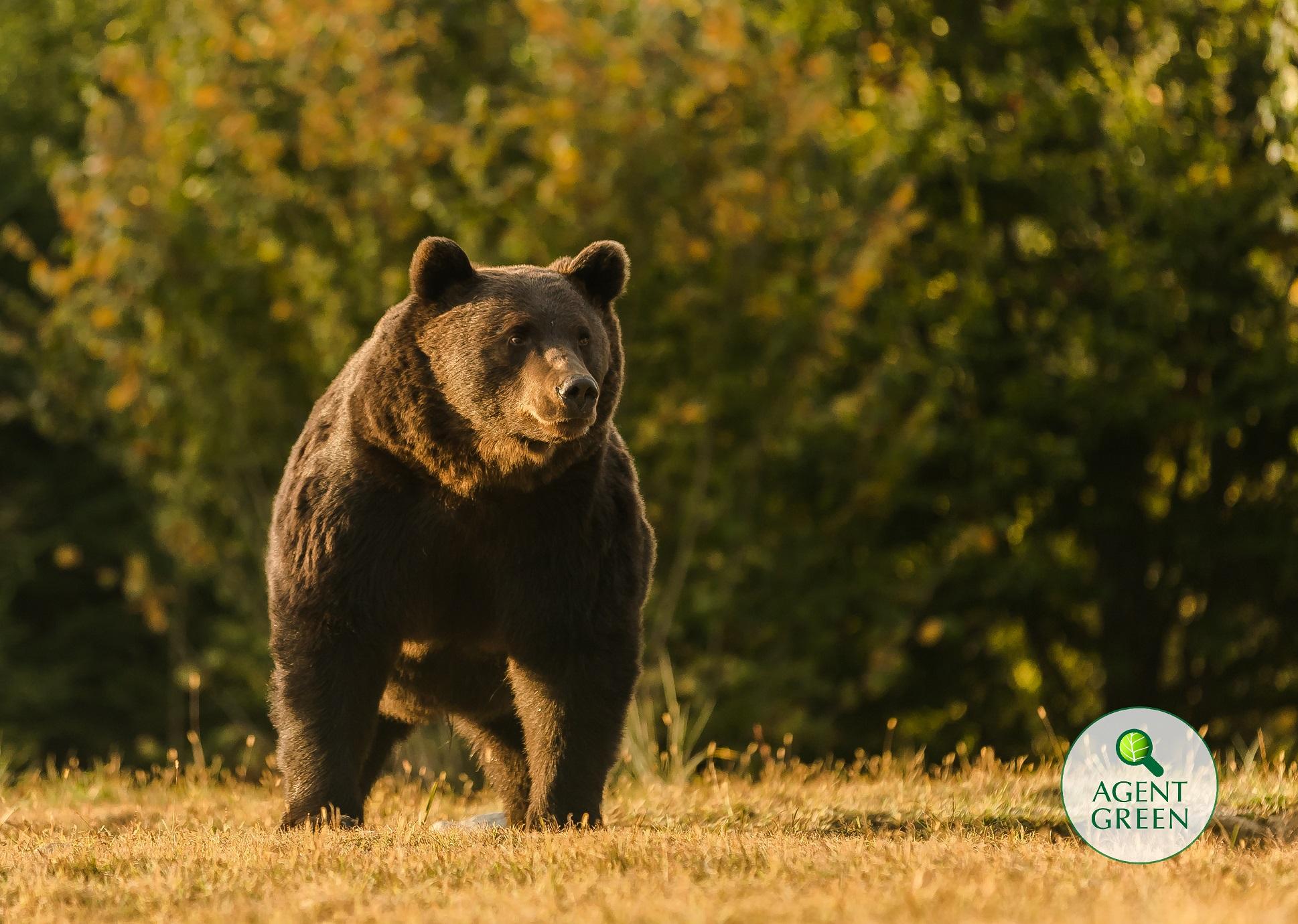 Экоорганизации обвинили принца Лихтенштейна в убийстве самого большого медведя в Румынии