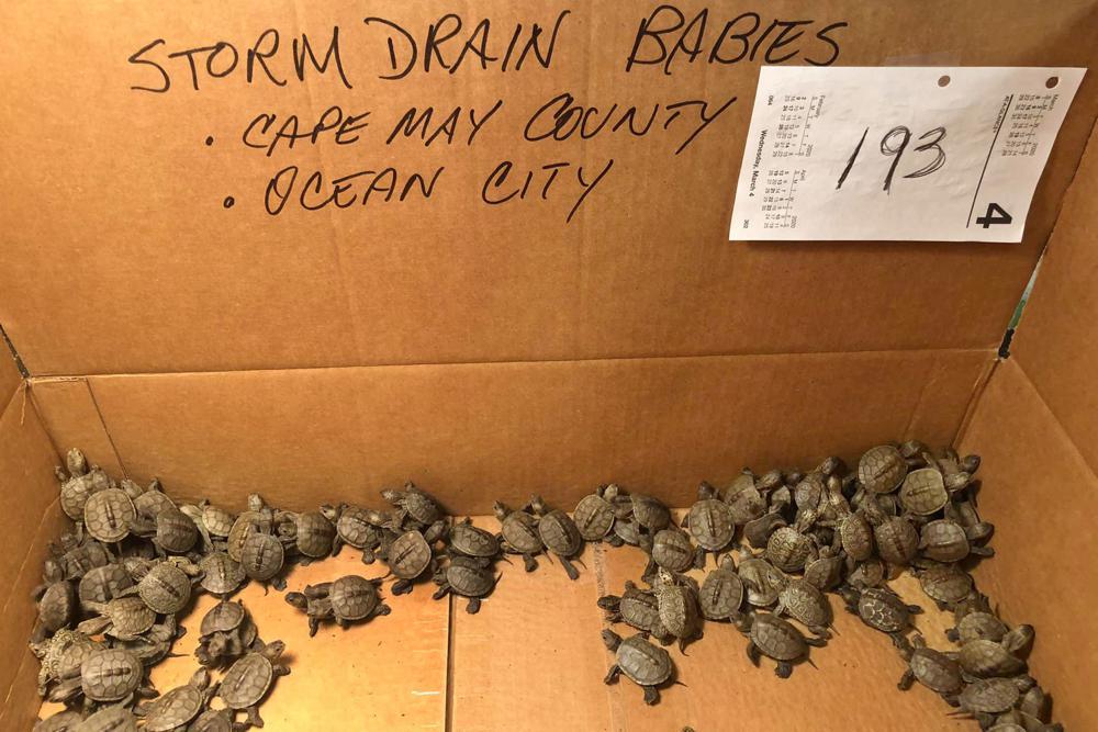 Все на битву со Шредером! В Нью-Джерси студенты вытащили из канализации 826 черепашек