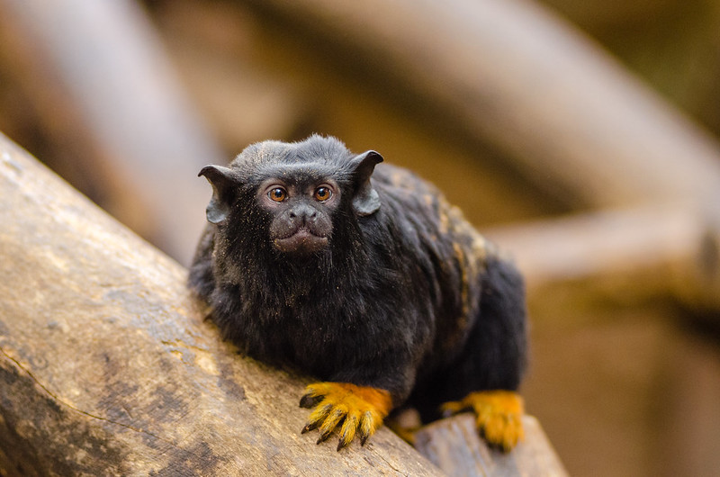 Краснорукий тамарин. Фото — Mathius Appel / Flickr.
