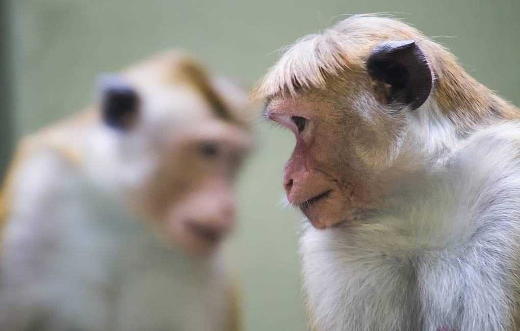 Китаю не хватает лабораторных обезьян. И снова виновата пандемия