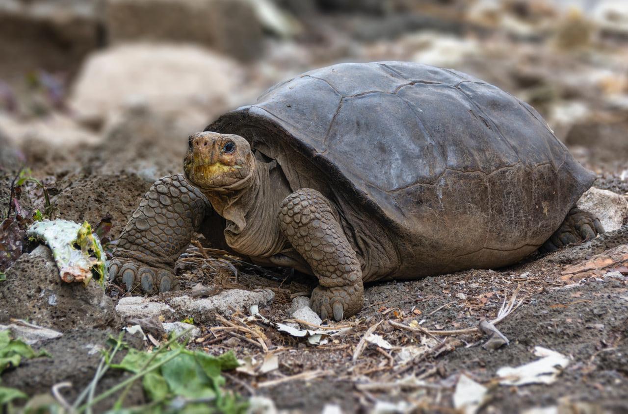 Найденная на Галапагосах черепаха оказалась представителем вида, который вымер 100 лет назад