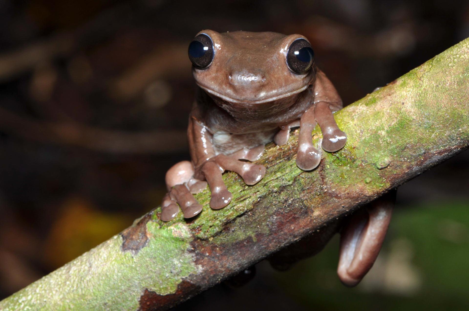 В Новой Гвинее обнаружен новый вид лягушек. Их называют «шоколадными»