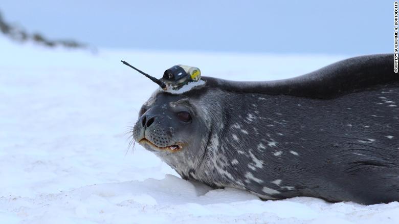 Как тюлени помогают ученым исследовать таяние ледников в Антарктиде