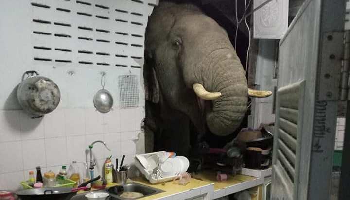 В Таиланде слон пробил головой бетонную стену кухни, чтобы украсть пакет с рисом