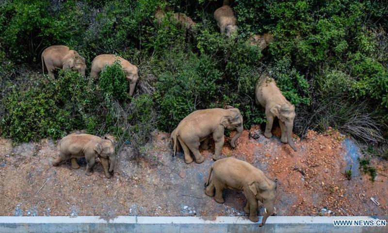 В Китае из заповедника сбежало стадо слонов