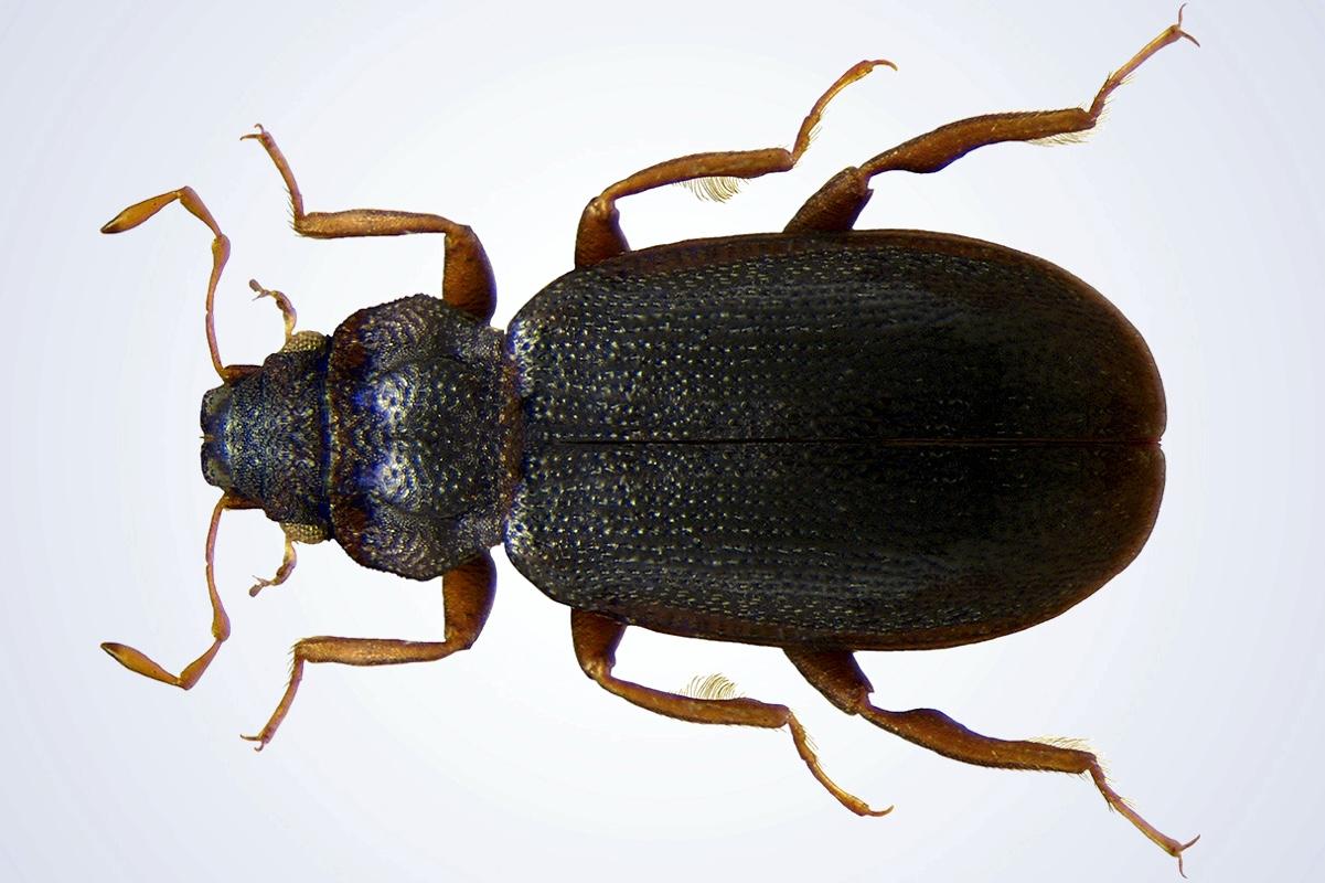 В Австралии обнаружены жуки, которые ходят по поверхности воды вверх ногами