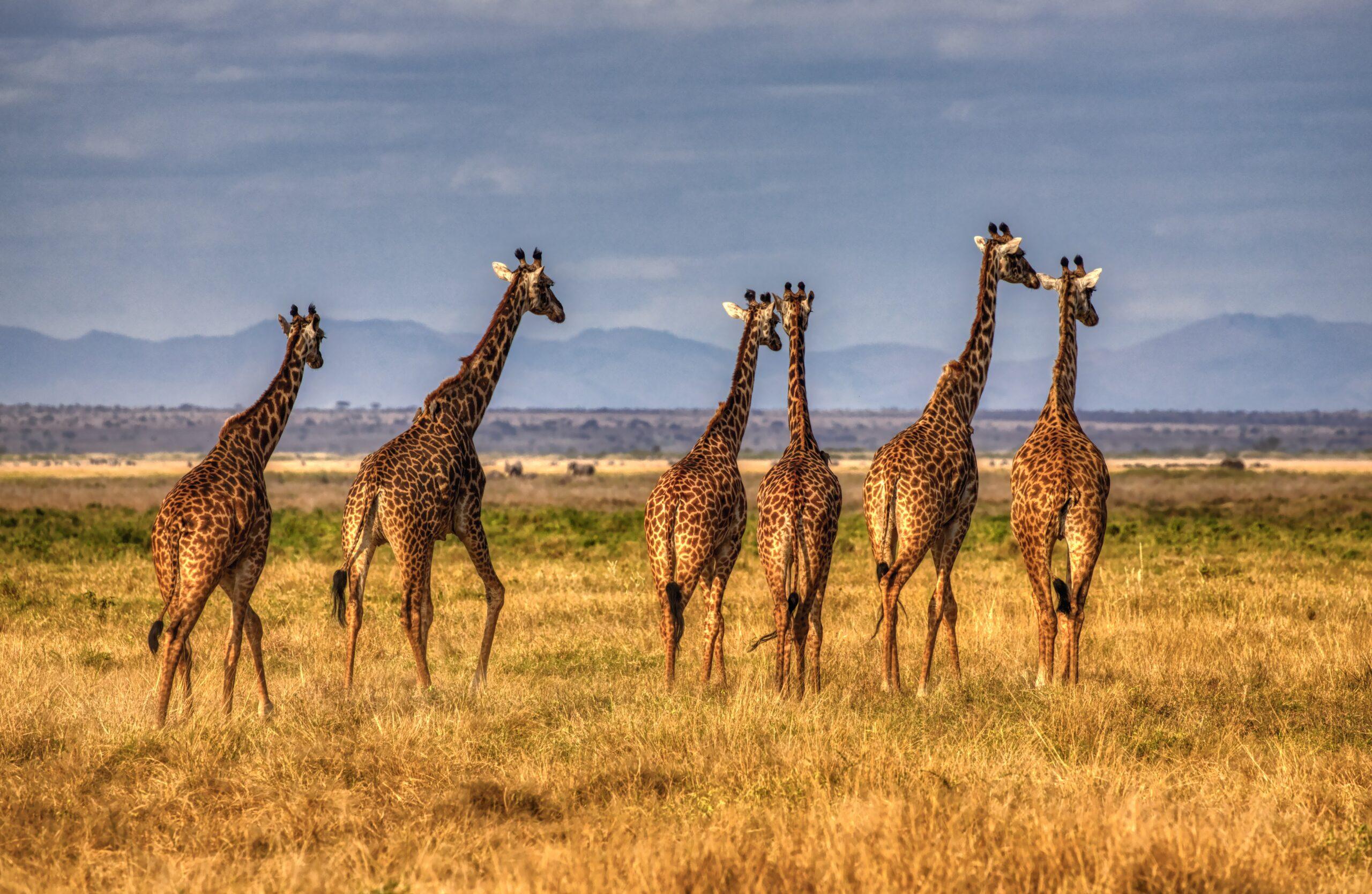 Кения начала первую национальную перепись животных