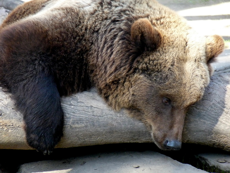 «Укрзалізниця» отправляет двух медведей в голландский зоопарк. Животные были на балансе госкомпании