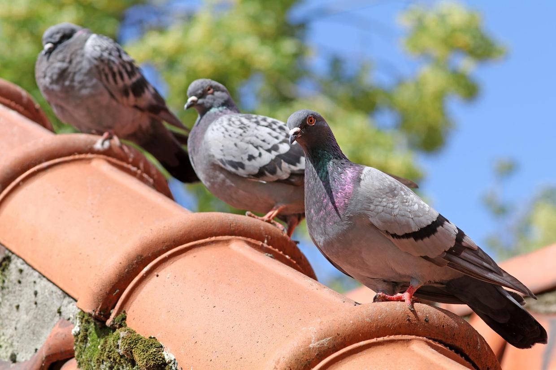 В Великобритании во время гонки пропали 10 тысяч голубей. Возможно, из-за магнитной бури